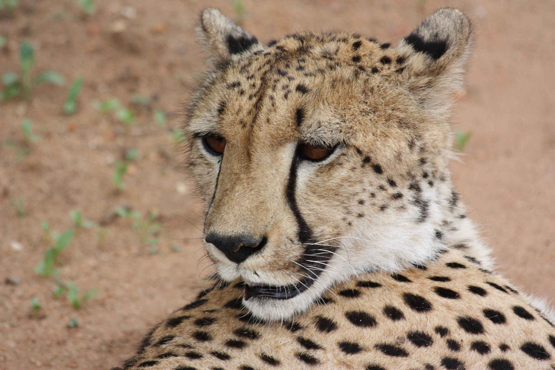 Combine your Cheetah Centre visit with a Harties Boat Cruise, : Harties Cheetah Centre, Ann van Dyk Cheetah Centre, Harties Boat Cruise, What to do in the Magaliesberg, Cape Vulture Vulpro, De Wild Cheetah Centre